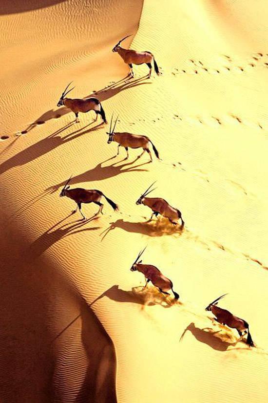 Antílpoes en el desierto de Namibia