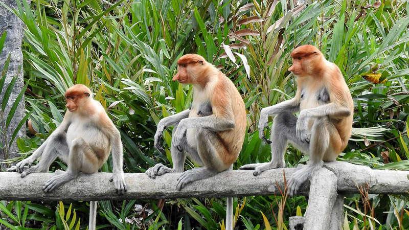 Mono narizudo de Borneo
