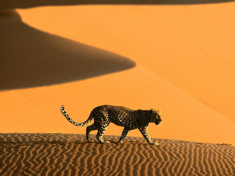 Guepardo en el desierto de Namib