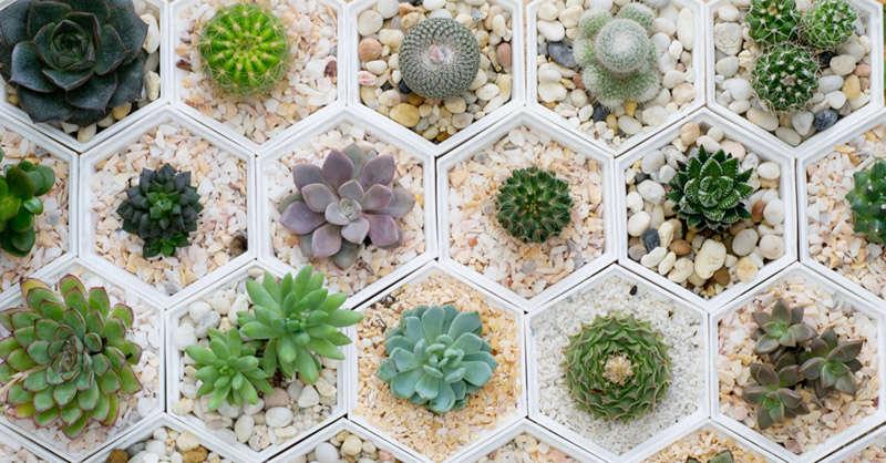 tipos de suculentas y cactus