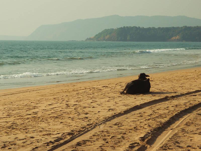 Vacas en las playas de Goa