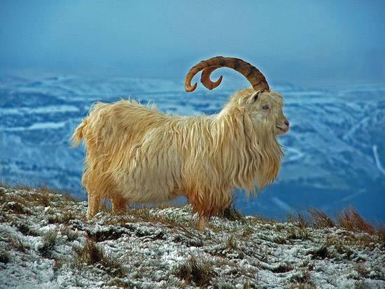 Cabra salvaje de las montañas de la India