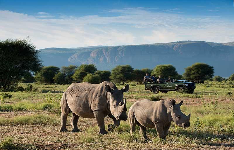 Rinocerontes en un safari en Sudáfrica